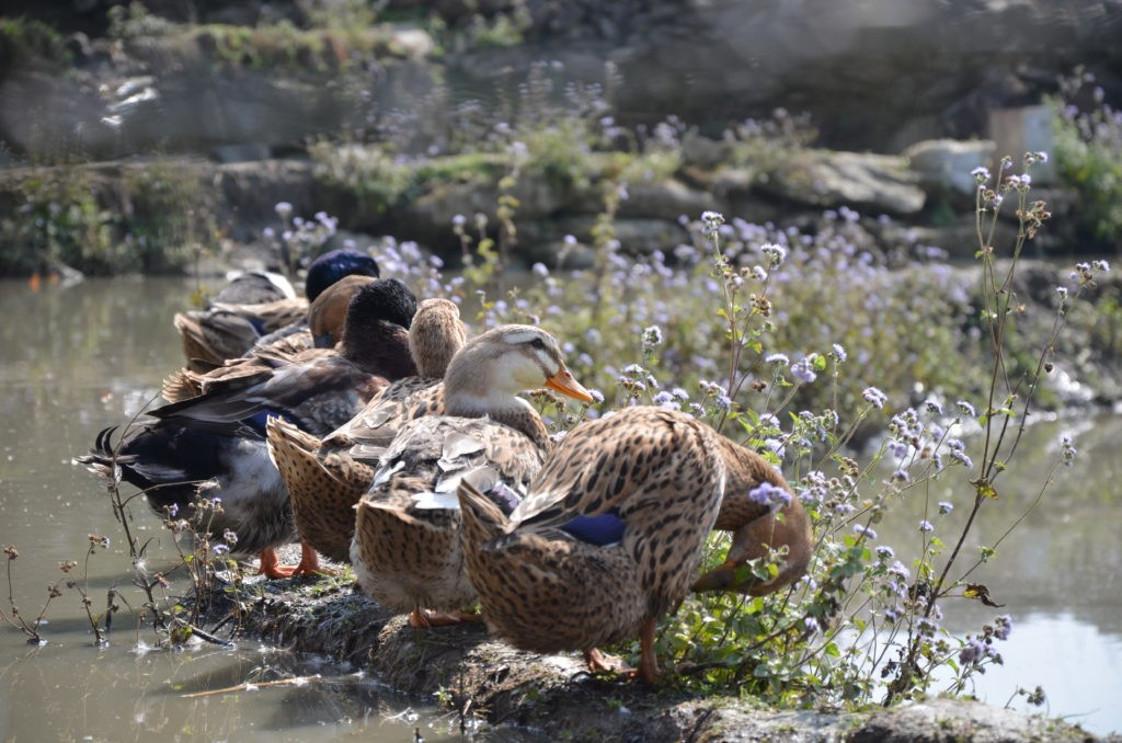Local ducks in Sapa, Vietnam.
