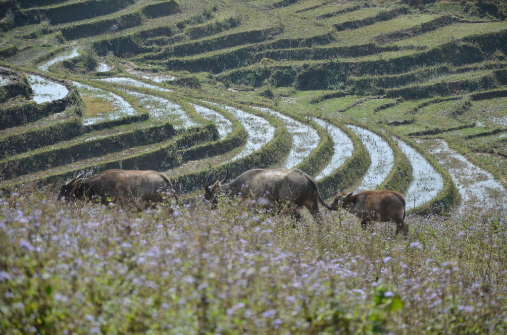 The nature in Sapa village with three buffalos. You can also see the rain on the rice fileds.