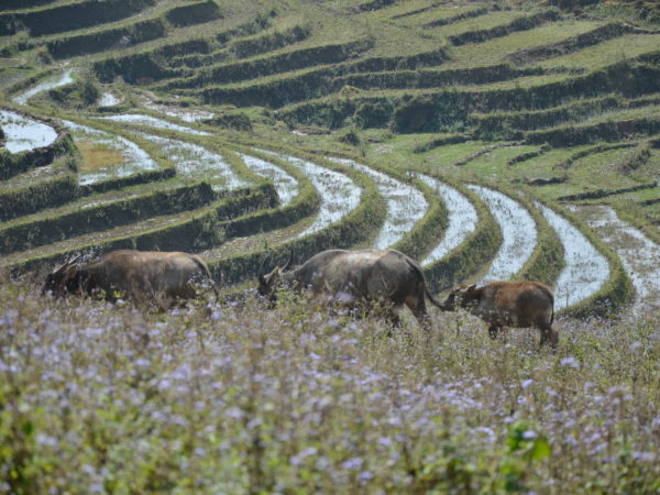 The nature in Sapa village with three buffalos