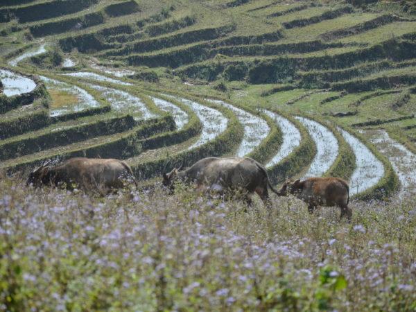 The nature in Sapa village with three buffalos